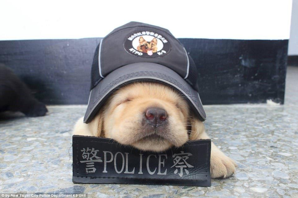 「台灣最萌小警犬」紅到國外變頭條!鏡頭前「爆Q可愛睡翻模樣」融化全世界!(13張)