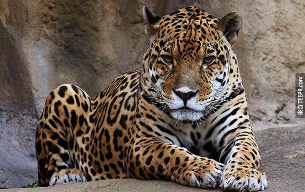19. 豹 – 虽然我们很少听到有人被豹攻击过,但是在印度,豹攻击人的案例其实很多。有一年,至少有15人因为豹攻击而丧命。
