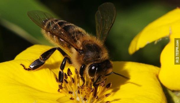 15. 蜜蜂 – 一年蜜蜂杀的人就有53位。但是,这是因为很多人对蜜蜂过敏。
