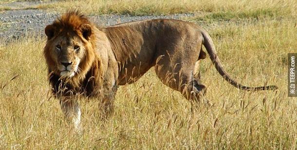 14. 非洲狮子 – 辛巴(Simba)怎么会杀人?!但是,一年其实有至少70个人会被非洲狮子杀死。森林之王真的不能惹的。