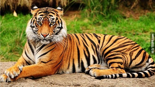 12. 老虎 – 狮子虽然是森林之王,但是老虎却是杀人之王!他们一年总共夺取100多个人命。在大多数的情况,因该都是人类去招惹他们。