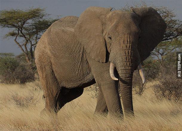 8. 大象 - 这个陆地最大的动物,13公尺高,15,000磅重,很难想像这么先天暴力的动物不会偶尔犯错。哪年至少有500个人被大象采死。