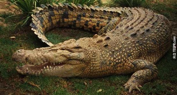 7. 鳄鱼 – 这个应该不会让人太惊讶,鳄鱼本来就是一个天生的让人害怕的杀人动物。我远本还以为他们应该是第一名呢!每一年,至少有1,500-2,000人被鳄鱼咬死。