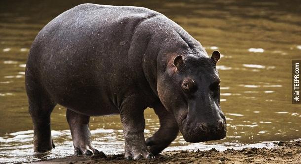 6. 河马 – 你可能不知道,但是河马其实是非洲最可怕的动物。虽然看起来很可爱温训,但是一年有3000多人因此动物而丧命。