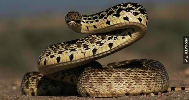 4. 蛇 – Okay, 我们都知道蛇很可怕...但是到底有多可怕?答案是...50,000条人命般的可怕!而且,他们的攻击性很强,只要感觉到一点点的威胁,就会主动出击。
