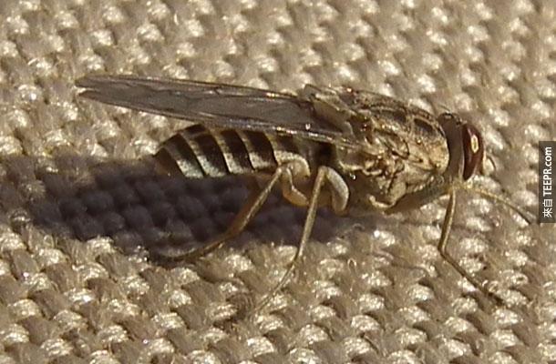 3. 采采蝇 – 你可能没有听过这种虫,但是这种昆虫其实是极度暴力的疯狂种族灭绝的发人魔。被这种虫咬到的人会得到非洲睡眠病而丧命,一年至少有500,000万个人因此而上命!得了此病毒的受害者只有80%的人会存活。
