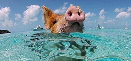 這座島的統治者居然是這些生活在海裡的豬。是的,真的超不可思議的!