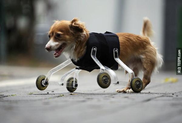 12.) Hoppa是一隻天生沒有前腳的混血兒狗狗。一名愛動物人士的藝術學校學生幫他做了一對非常有STYLE的滾輪,讓Hoppa還可以繼續跑跑跳跳。
