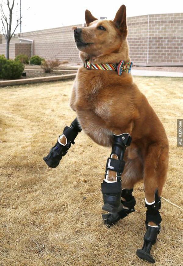 9.) 這隻叫做 Naki 的土狗四隻腳都是義肢。當時他嬰兒時被丟棄在雪裡時,因為太冷所以腳都被凍壞了。現在,他又有腳,又有愛他的主人。
