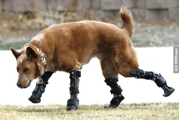 他的主人或許可以考慮覺他機械戰狗 Robo-Dog (好猛喔)。