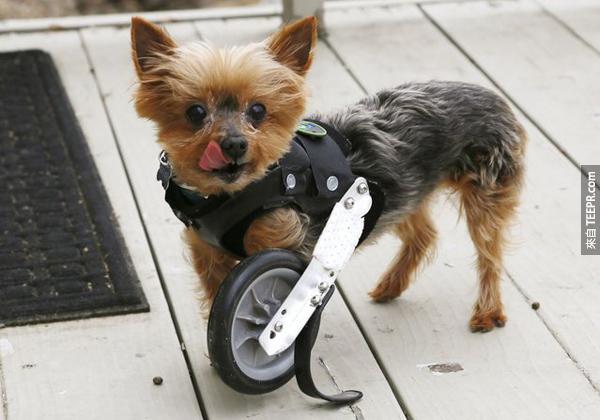10.) 這隻叫做Hope (希望) 的約克夏少了一支腿,但是有一個滾輪讓他還是可以可可愛愛的跑來老去讓大家疼。