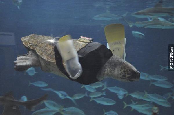11.) 這隻叫做Yu的25歲母烏龜因為被鯊魚攻擊,所以失掉了她的前腳。她已經換了27對義肢了,現在終於找到了最適合她的義肢,讓她在海裡暢行無阻。