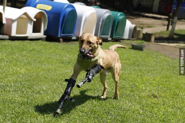 8.) 這隻狗狗Pay de Limon的前腳被墨西哥的販毒幫派為了練習砍掉他人手指割掉了 (真是很沒有人性)。好在的是有人幫他裝了義肢,讓他也可以像其他狗狗一樣,跑跑跳跳。