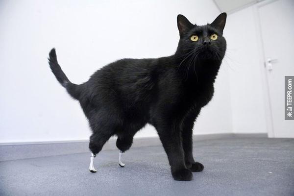 5.) 奧斯卡的腳被一台收割機切斷了。後來有獸醫幫他裝了世界最進步的貓咪義肢,讓他幾乎能像正常貓一樣跑跳。連輪椅都不需要喔!