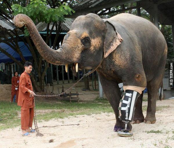 6.) 這隻48歲泰國的母大象十年前踩到了一個地雷後一支腳被炸掉了。但是後來有人幫她裝了新的義肢後,她又可以像正常的大象一樣活動了。