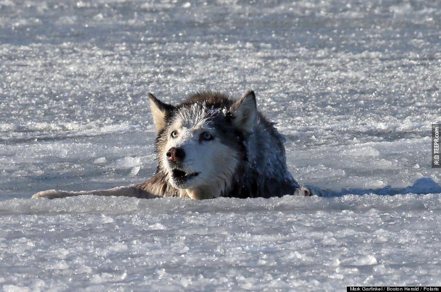 當他們13歲的老哈斯奇狗掉到冰河裡去時,他們以為他死定了。直到,這發生了。
