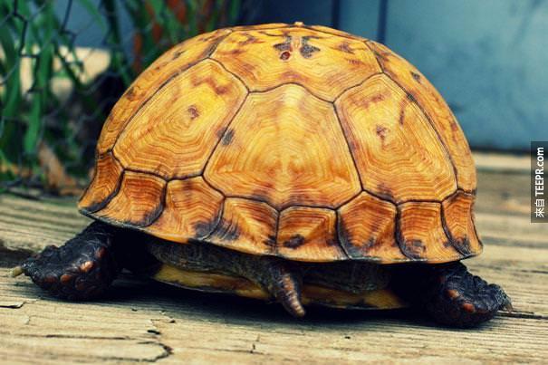 22. 烏龜可以用他們的尾巴呼吸。