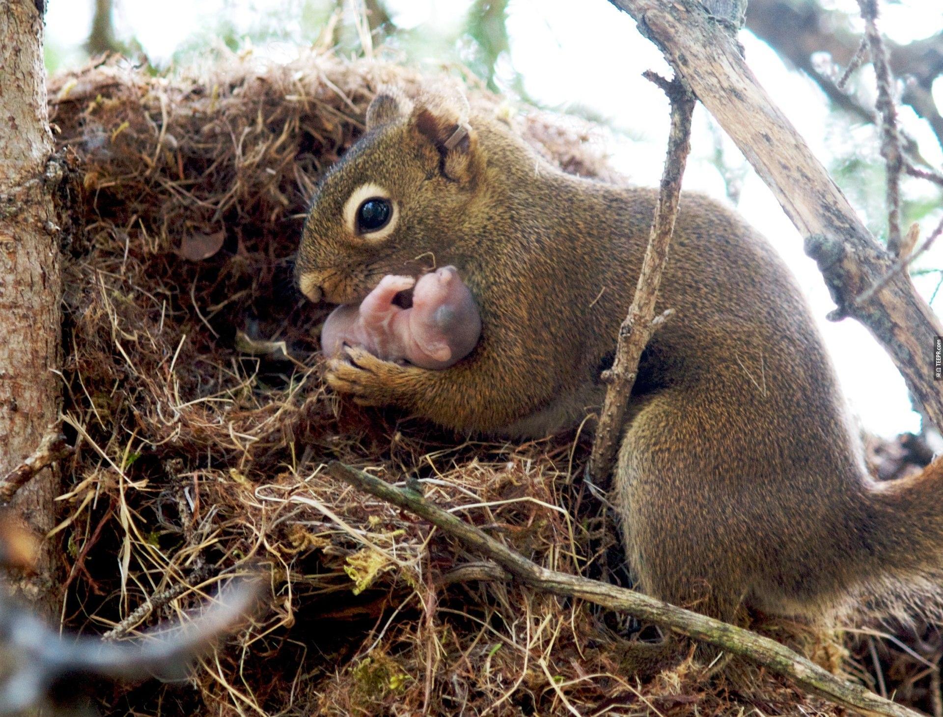 8. 松鼠會領養被遺棄的松鼠Baby。