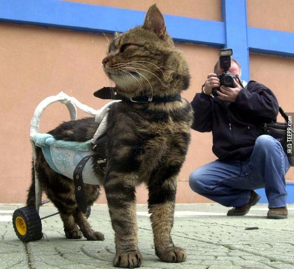 4.) 這隻7歲的貓咪叫做Cici。她之前被車撞到後就半身不遂了。但是呢,她在裝了客製輪椅後,又可以活動自如了。