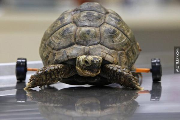 1.) Tzvika 是一個受傷的母烏龜。當有一個除草機開過他之後,她的後腳就癱瘓了。但是,後來她裝了輪子後,又可以走動了!