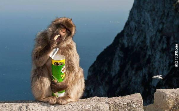 25. 日本的獼猴會用他們找到的銅板投入販賣機買東西吃。