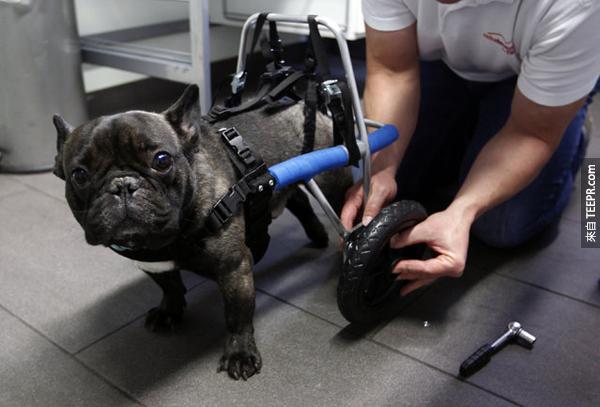 2.) 這隻法國鬥牛犬的後腿是先天癱瘓。但是呢他在裝了他的後輪以後,又可以像其他狗狗一樣活動自如!