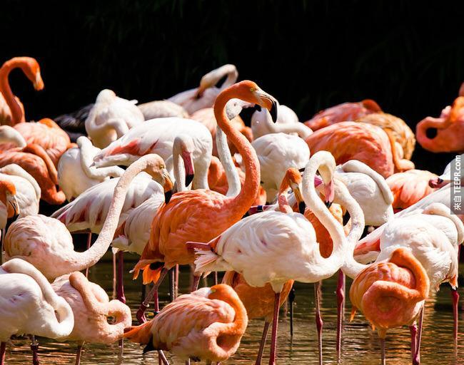 """26. 一群弗朗明哥鳥的英文叫做 """"flamboyance"""" (華麗)。"""