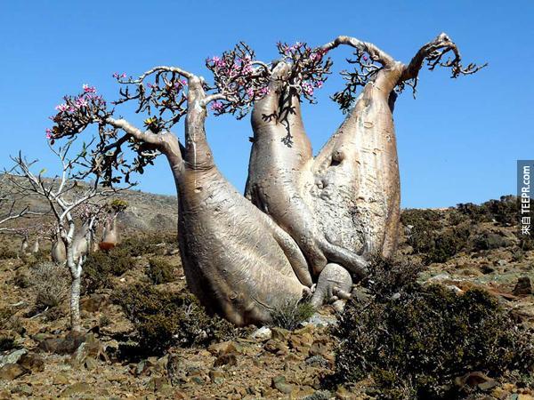這些找得很奇特的樹其實快要慢慢的都死去了。在這個島上的植物都非常的脆弱。