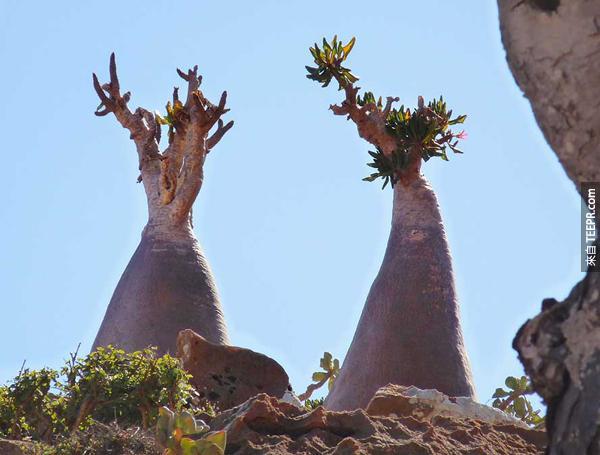 如果你有天忽然在Socotra岛上醒来看到周围的环境,一定会以为被穿梭到其它的次元了。