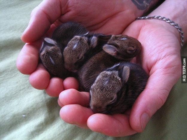 """33. 一整群小兔子英文叫做 """"fluffle"""" (聽起來像是蓬鬆)。"""