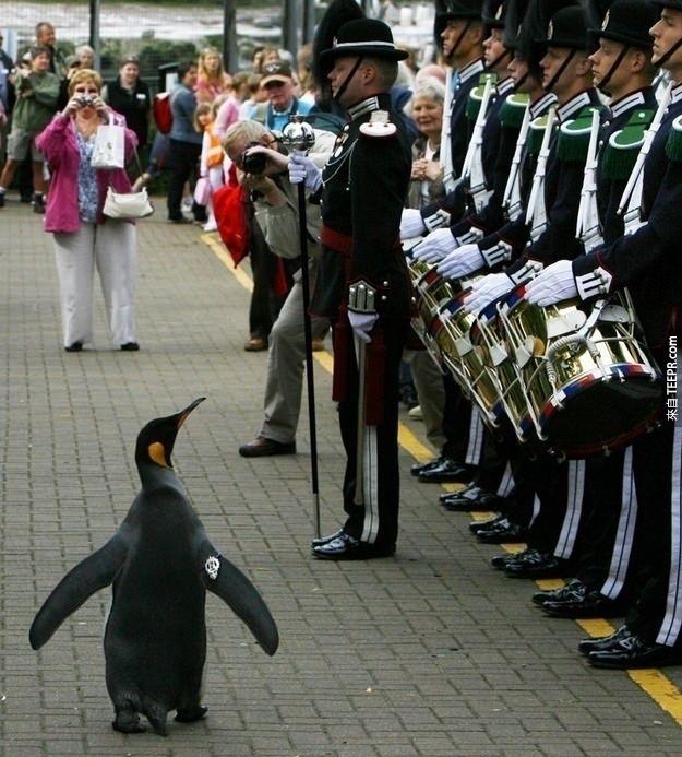 35. 挪威曾經封過一隻企鵝為爵士。他的名字叫做 上校長 Nils Olav 爵士 (Colonel-in-Chief Sir Nils Olav)。