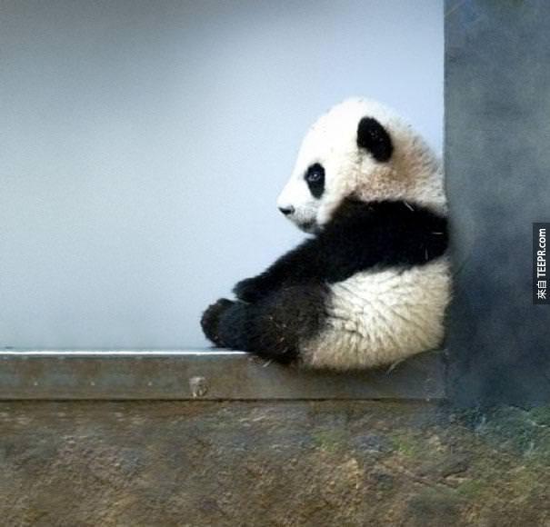 2. 一個新生的一隻貓熊只有跟一杯茶一樣重。