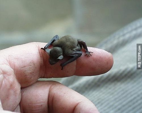 37. 這小傢伙叫做大黃蜂蝙蝠 (Bumblebee Bat),全世界最小的蝙蝠。