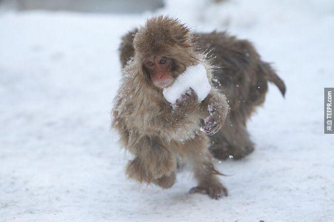 7. 年輕的日本獼猴會做雪球玩。