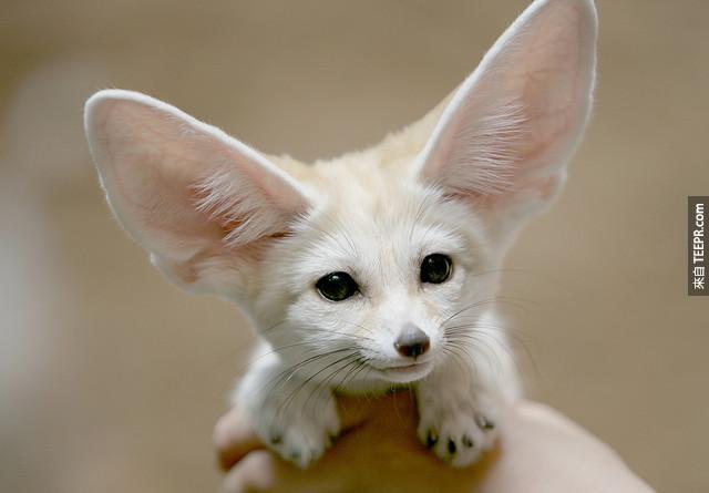 3. 耳廓狐 Fennec Foxes 的毛毛的小腳就像是雪鞋,讓他們不會受灼熱的沙漠所燒傷。