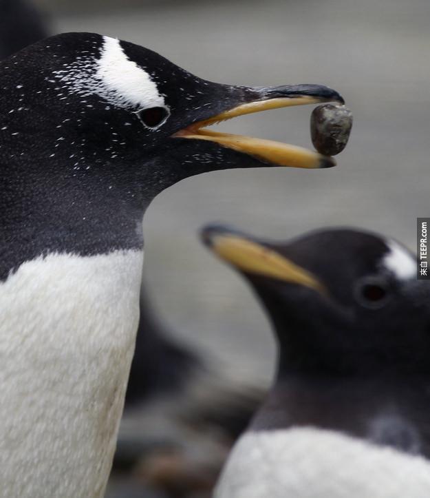 11. 巴布亞企鵝會用他們找到的卵石求偶。