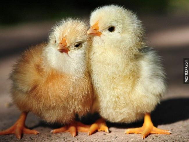 15. 小雞在蛋裡面就會跟其他在蛋裡面的小雞說話。