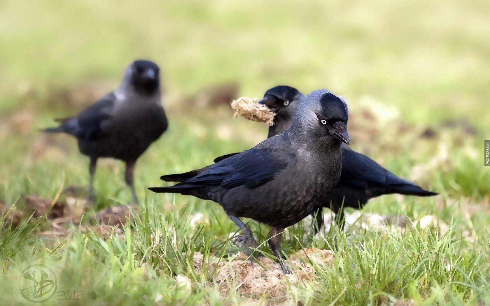 Cute-Crows-Wallpaper