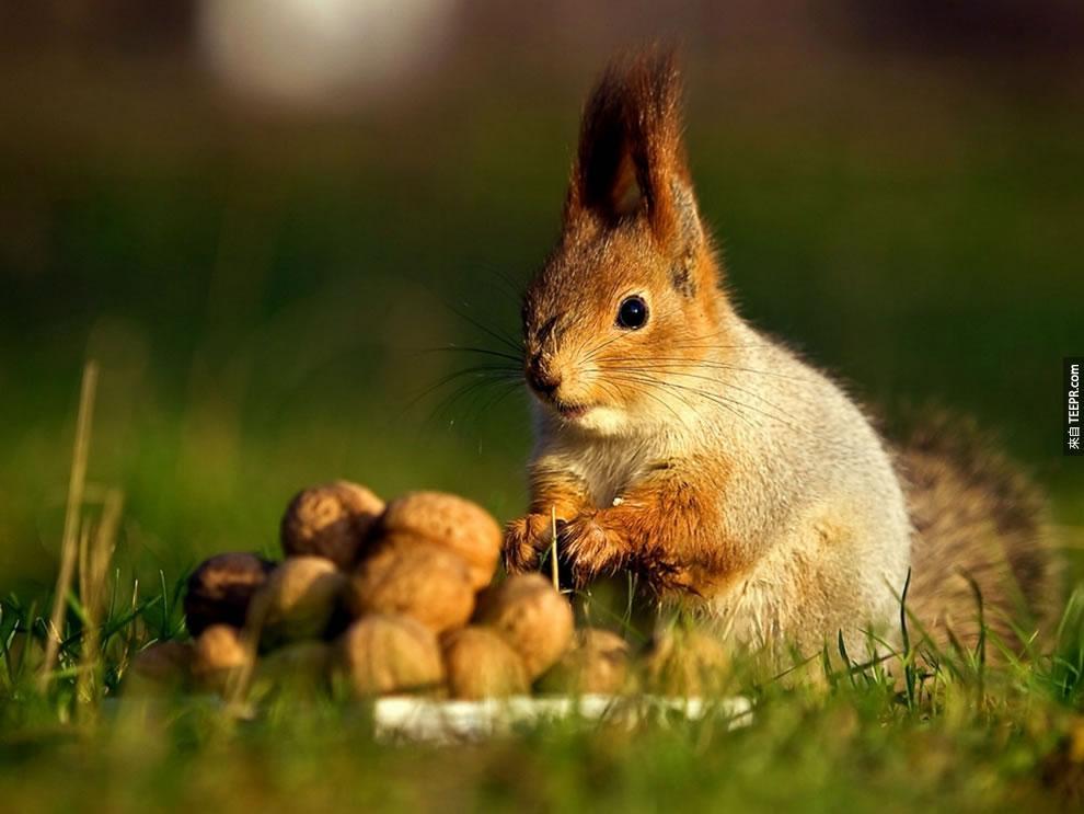 18. 松鼠時常會忘記他們把果子埋在哪裡,所以很多的樹會因此長出來。看來他們是我們大自然最大的救星!