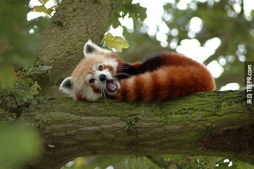 6. 一隻紅貓熊的尾巴可以長到19吋。