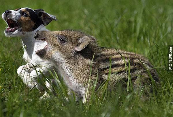 有人在一個田野裡發現到這隻小野豬。