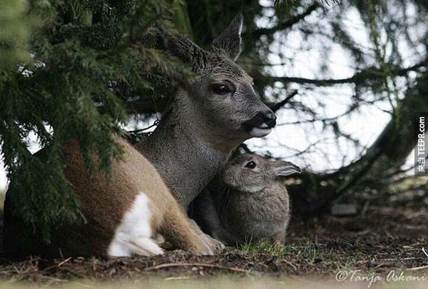 一名野生動物攝影師真的照到了小鹿斑比和桑普 (在卡通小鹿斑比裡真的是朋友!)。
