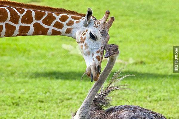 10.) 長頸鹿Bea 和鴕鳥 Wilma