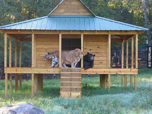 11.) Shere Khan, Baloo and Leo
