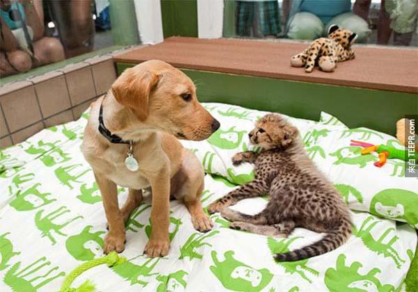 12.) 獵豹 Kasi 和拉布拉多犬 Mtani