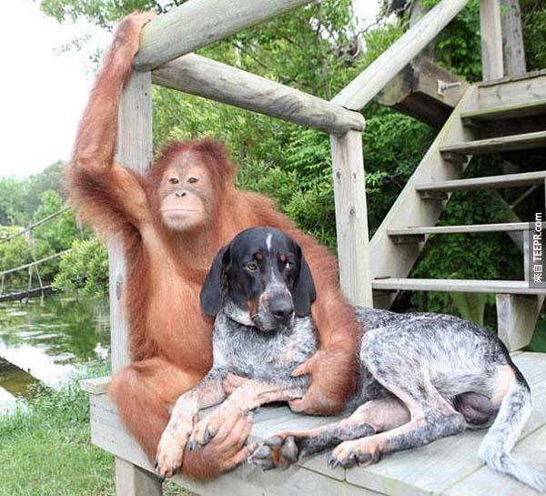 13.) 猩猩Suryia 和藍色剔獵犬 Roscoe