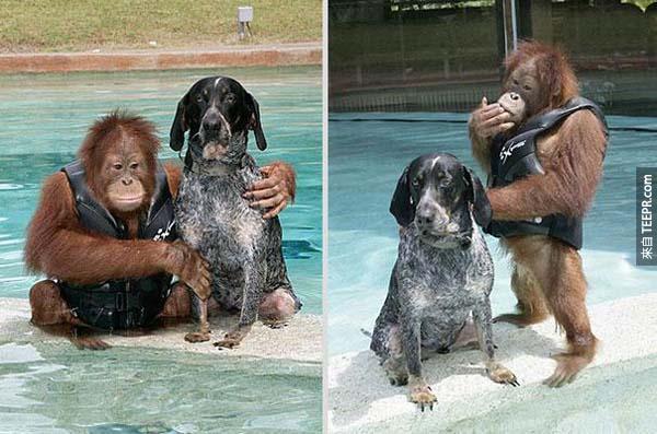 有一天,Roscoe看到了這隻猩猩跟他的管理者後就跟著他們了。