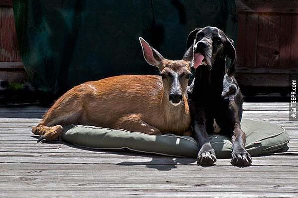 14.) 大丹犬Kate 和鹿Pippin