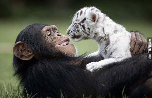 15.) Anjana the chimpanzee and tiger cubs