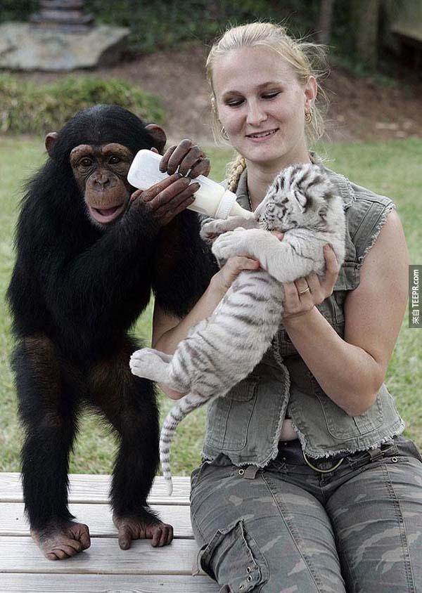 還好的是,Anjana跟她的管理者決定照顧這些小虎子。
